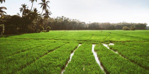 Rice fields, Sri Lanka